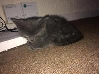 Grey male kitten.