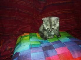 Gorgeous litter pedigree Selkirk Rex Mother/Persian Father