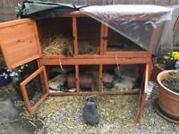 2 mini lop rabbits and 2 tier cage