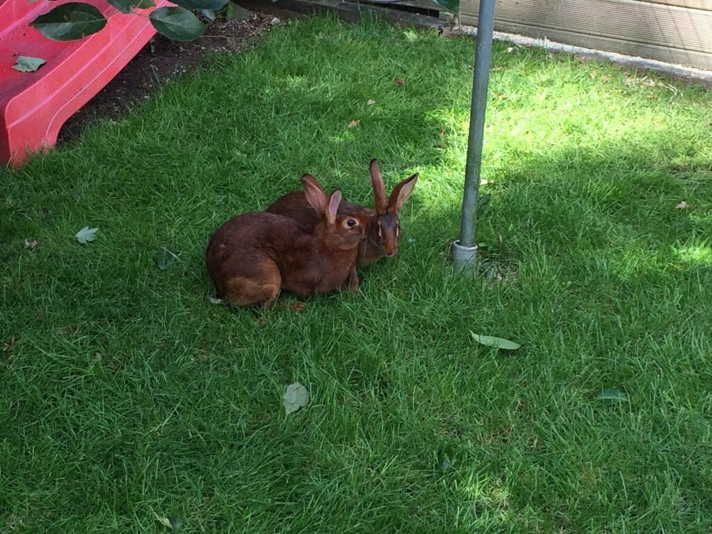 belgian hare rabbits in dereham norfolk gumtree
