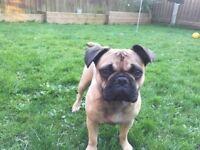 French bulldog 3/4