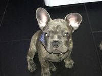 Male blue brindle French bulldog kc registered