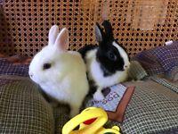 2 Baby Netherland Dwarf Rabbits ready now