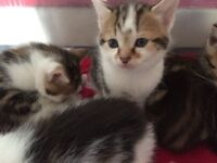 4 Beautiful Bengal X kittens for sale!!