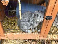 Chinchilla rabbit