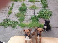 Boxer X collie puppies