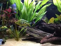 Cichlids - Firemouth, Jack Dempsy, Giraffe cichlid (Nimbochromis Venustus)