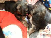 3 --black and tan Jack Russell puppies