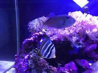 Marin fish Blue Throat Triggerfish