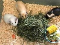6 baby guinea pigs for sale