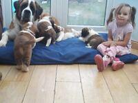St. Bernard puppies K.C registered