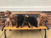 cocker spaniels puppies