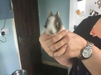 Baby rabbits for sale male and females all coulors very tame £25 each take deposits ready sat 30 jul