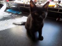 KITTEN FOR SALE gorgeous 10 weeks old