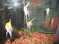ANGEL FISH [ 5 EXTRA LARGE GOLD]