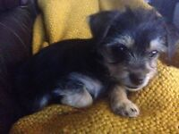 Chorkie pup for sale