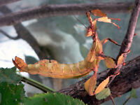 Australian Stick Insects