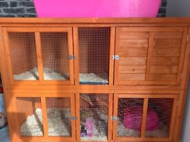 Rehoming two Guinea pig sister must go together