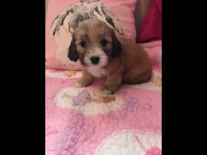 Toy poodle dachshund puppies 2 left $1500 each this weekend