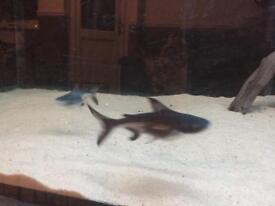 Paroon Shark TRUE (pangasius sanitwongsei)