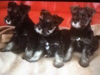 3 beautiful female miniature schnauzer puppies