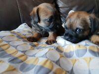 KC registered border terrier pups