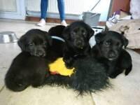 Borador puppies - labrador x collie