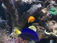 "3-4 "" Purple tang reef safe marine fish for salt water fish tank aquarium"