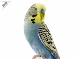 BLUE AND YELLOW BUDGIE CALLED KELLY