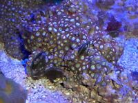 large red button zoas (dragon eyes)