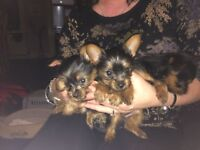 Adorable Miniature Yorkshire Terrier puppies. 8 weeks old.