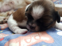 Shih Tzu Pups for sale 2Females 1Male, Both parents can be seen. ONLY GOOD HOMES!