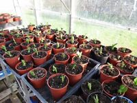 Braod Bean Plants (Aquadulce) Strong healthy plants in individual pots - easy to plant... 25p each.