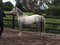 12.2hh Welsh Pony Section B
