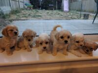 PEEKAPOO PUPPIES LOOKING FOR THEIR FOEVER HOME! O