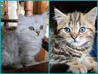 Kittens - British Short Hair x Chinchilla Kittens