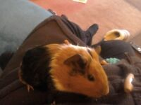 Girls and boy baby guinea pigs all colours