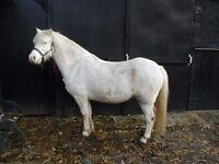 welsh mountain pony gelding