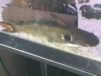 """10"""" Sun Catfish - Free collect today"""