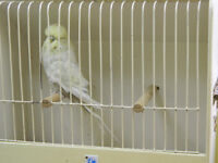 rehoming english budgies