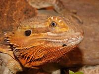 blood red male bearded dragon..