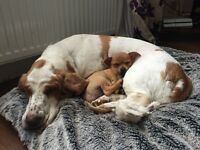 basset hound and chihuahua Looking for a new 5* home