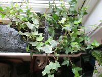 ivy plants potted ready to plant containers hanging baskets etc