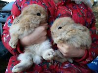 German Lop X Lop Earred Rabbits