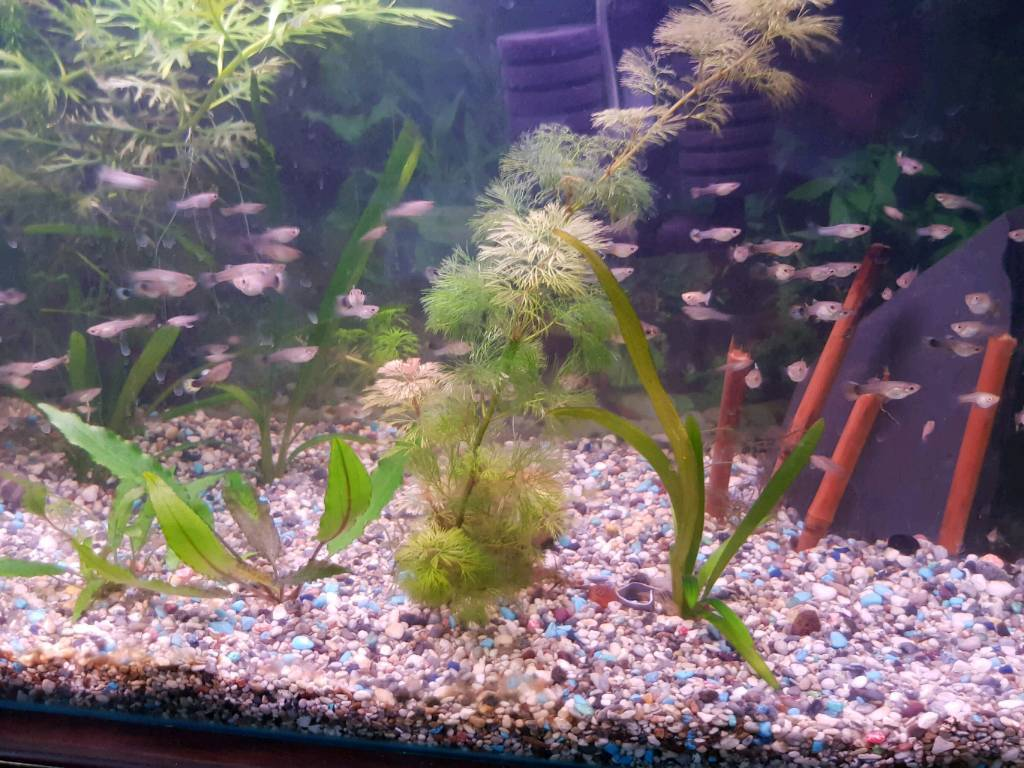 Tropical Fish Guppy And Molly Juveniles In Brentry Bristol
