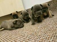 Stunning French Bulldog puppies for sale
