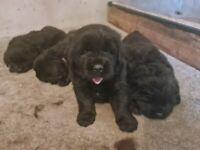 Newfoundland Pups for Sale