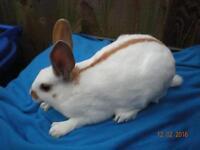 Male old English rabbits