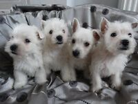 west highland terriers boys and girls