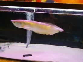 silver arowana fish offers
